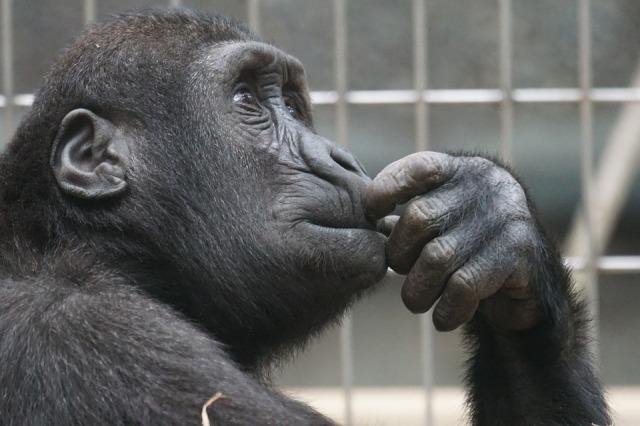 primate-1019101_960_720