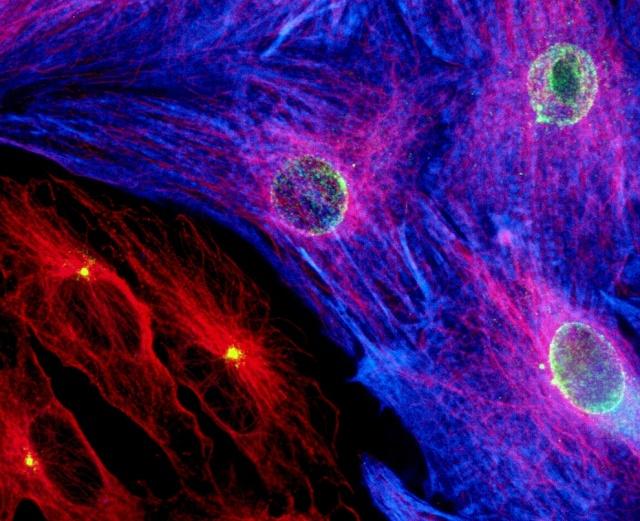 Cardiac muscle cells. Photo Credit: David C. Zebrowski, Felix B. Engel